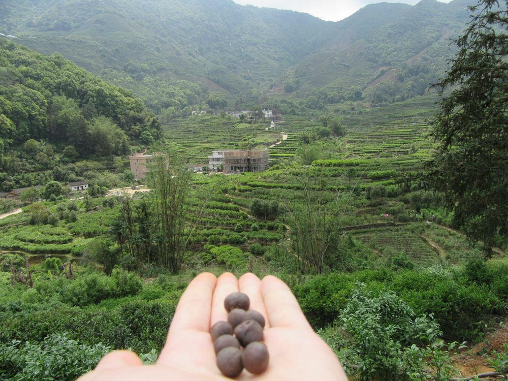 údajná čajová semínka - založíme zahradu?